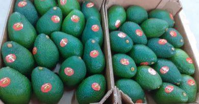 Agropecuaria San Ramon envía las primeras paltas peruanas hacia Corea del Sur